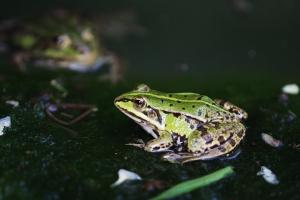 Zelena žaba