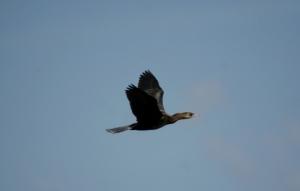 Pritlikavi kormoran