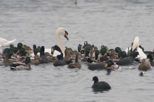 Jata vodnih ptic na Zbiljskem jezeru