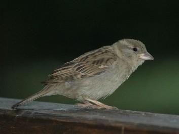 19_domaci-vrabec-samica_foto-Ivan-Esenko