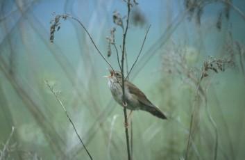 Rečni cvrčalec<br />(<em>Locustella fluviatilis</em>)