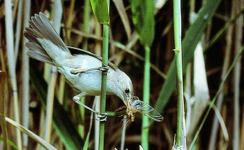 Srpična trstnica<br />(<em>Acrocephalus scirpaceus</em>)