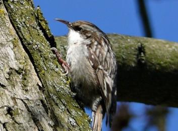 Kratkoprsti plezalček<br />(<em>Certhia brachydactyla</em>)