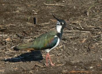 Priba<br />(<em>Vanellus vanellus</em>)