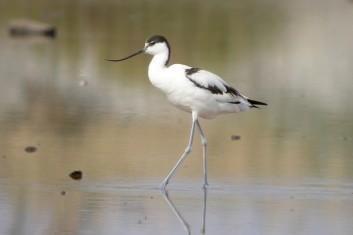 Sabljarka<br />(<em>Recurvirostra avosetta</em>)