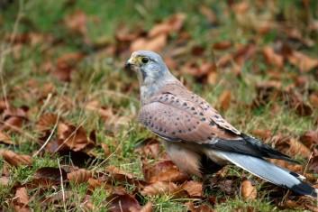 Postovka<br />(<em>Falco tinnunculus</em>)