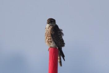 Mali sokol<br />(<em>Falco columbarius</em>)