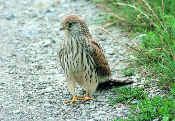 Južna postovka<br />(<em>Falco naumanni</em>)