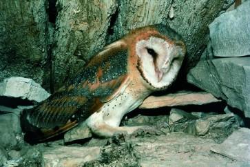 Pegasta sova<br />(<em>Tyto alba</em>)