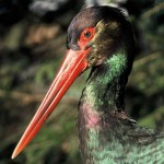 Franček je črna štorklja s posebnim poslanstvom, saj nam pomaga pri raziskovanju načina življenja teh ogroženih ptic.