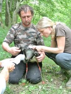 Raziskovalci DOPPS so ga ujeli 5. junija v bližini vasi Slaptinci v Slovenskih goricah.