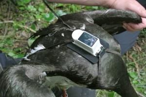 Frančku, kot so ptico poimenovali, so namestili GPS oddajnik.