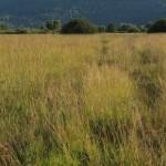 Na območju  Iškega morosta je ohranjenih nekaj najlepših primerov vlažnih barjanskih travnikov na Ljubljanskem barju. Foto: Eva Vukelič