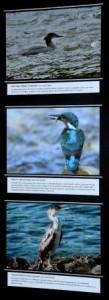 Mlada ljubitelja ptic, Pascal Marič, učenec 8. razreda OŠ Apače in Matevž Škalič, dijak 3. letnika gimnazije Murska Sobota, sta predstavila nekaj svojih najboljših fotografij ptic, med katerimi je bilo nekaj povsem običajnih in pogostih (kos, ščinkavec …) ter nekaj redkih vrst ptic (plevica, rjava čaplja …), manjkale pa niso niti vrste, kvalifikacijske za območje Natura 2000 Mura (srednji detel, sršenar, veliki žagar, vodomec, mali deževnik …). Foto: Vilibald Marič