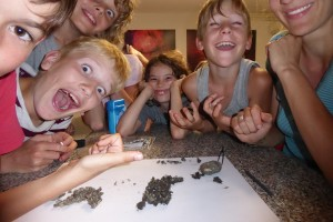Le kdo je lahko tako navdušen nad izbljuvki pegaste sove? Mladi ornitologi, seveda! foto: Tilen Basle