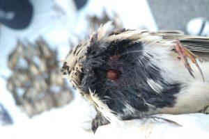 Zelo veliko število ptic je imelo strelne rane. Foto: Tjaša Zagoršek