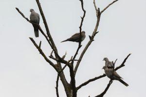 Turške grlice na drevesu v Kozjanskem parku. Foto: Aleksander Kozina