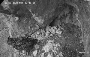 Samec pri klicanju samice k gnezdu.