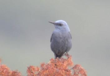 Puščavec<br />(<em>Monticola solitarius</em>)