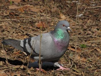 Domači golob<br/>(<em>Columbia livia domestica</em>)