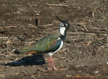 Priba<br/>(<em>Vanellus vanellus</em>)