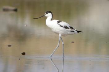 Sabljarka<br/>(<em>Recurvirostra avosetta</em>)