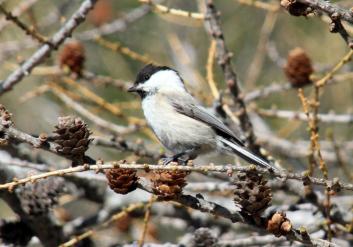 Gorska sinica<br/>(<em>Poecile montanus</em>)