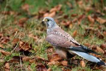 Postovka<br/>(<em>Falco tinnunculus</em>)
