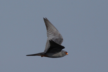 Rdečenoga postovka<br/>(<em>Falco vespertinus</em>)