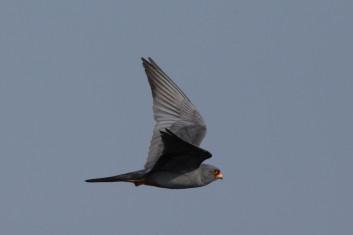Rdečenoga postovka<br />(<em>Falco vespertinus</em>)