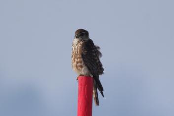 Mali sokol<br/>(<em>Falco columbarius</em>)