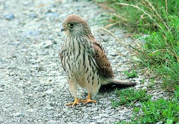 Južna postovka<br/>(<em>Falco naumanni</em>)