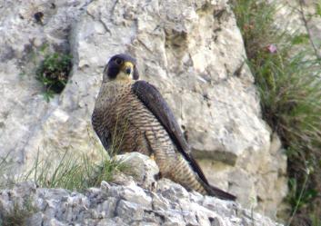 Sokol selec<br/>(<em>Falco peregrinus</em>)