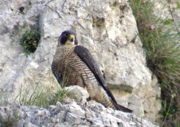 Sokol selec<br />(<em>Falco peregrinus</em>)