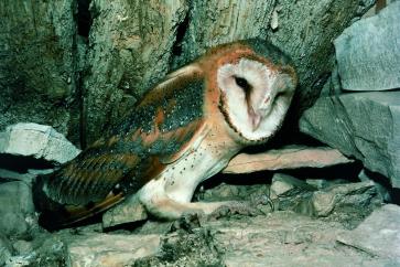Pegasta sova<br/>(<em>Tyto alba</em>)