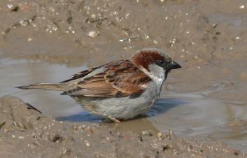 Domači vrabec<br />(<em>Passer domesticus</em>)