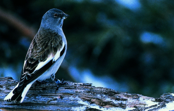 Planinski vrabec<br/>(<em>Montifringilla nivalis</em>)