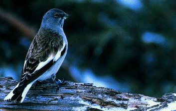 Planinski vrabec<br />(<em>Montifringilla nivalis</em>)