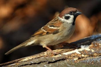 Poljski vrabec<br/>(<em>Passer montanus</em>)