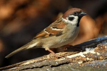 Poljski vrabec<br />(<em>Passer montanus</em>)