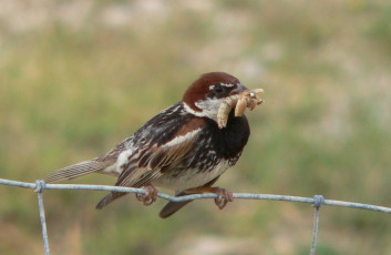 Travniški vrabec<br />(<em>Passer hispaniolensis</em>)