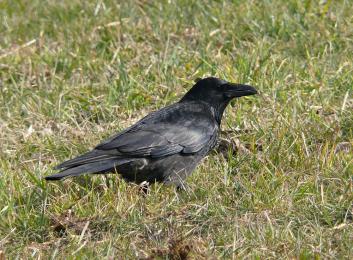 Črna vrana<br/>(<em>Corvus corone</em>)