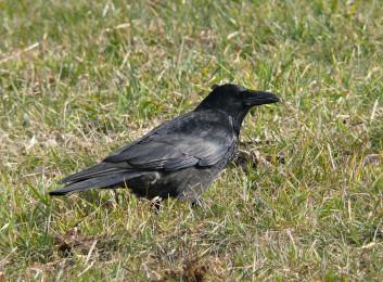 Črna vrana<br />(<em>Corvus corone</em>)
