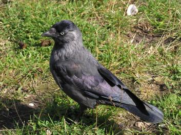 Kavka<br />(<em>Corvus monedula</em>)