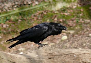 Krokar<br />(<em>Corvus corax</em>)