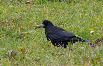 Poljska vrana<br />(<em>Corvus frugilegus</em>)