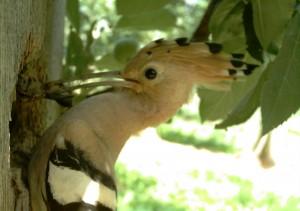 Smrdokavra je najpogosteje ulovila različne vrste kobilic, še posebno pa bramorje in poljske murne. foto: arhiv DOPPS