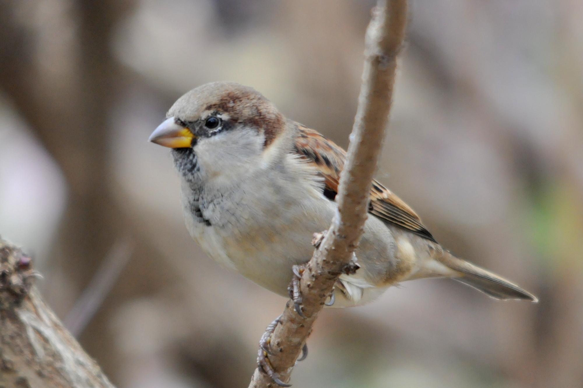Domači vrabec
