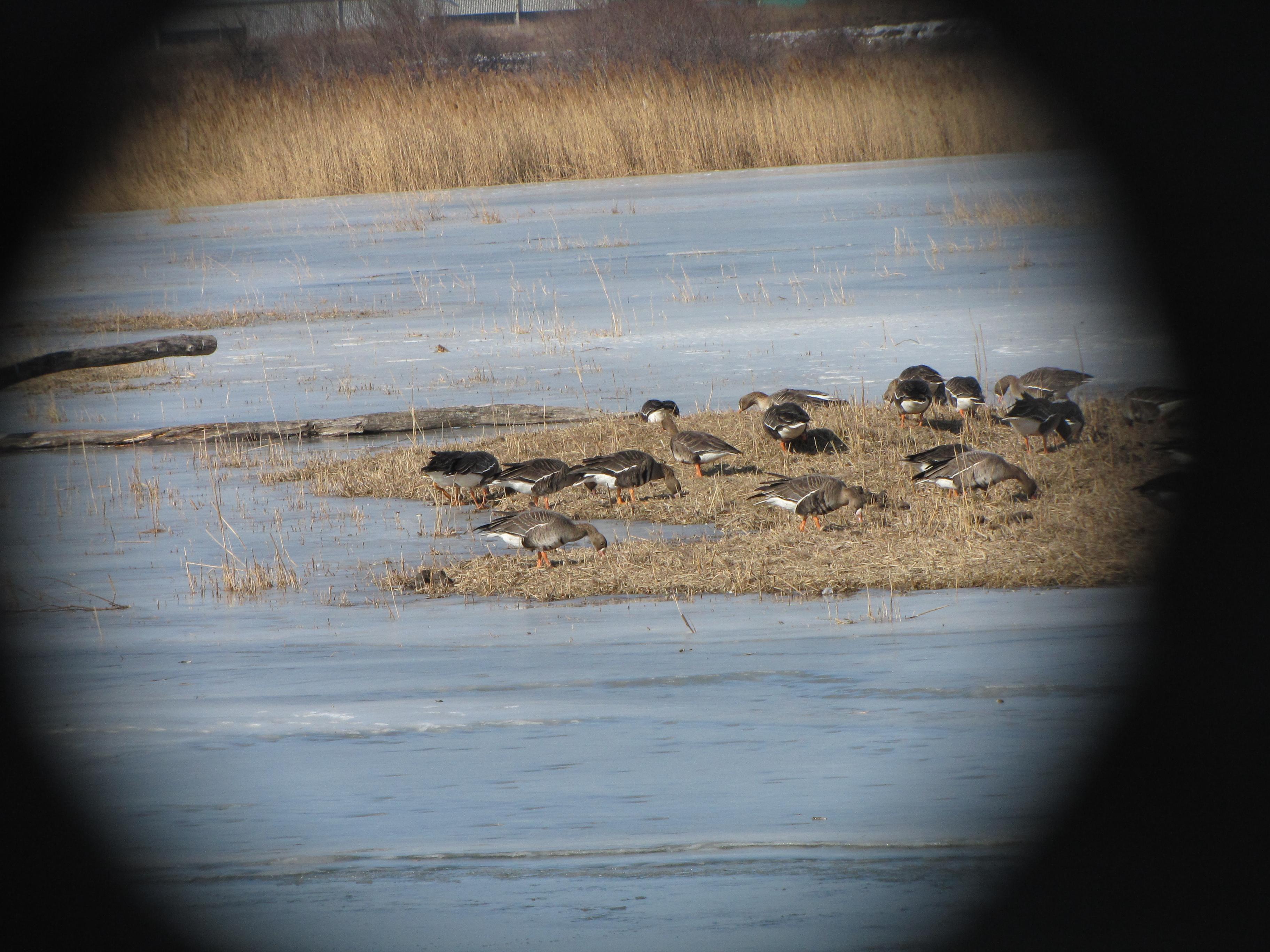 Januarsko štetje vodnih ptic (IWC) 2015