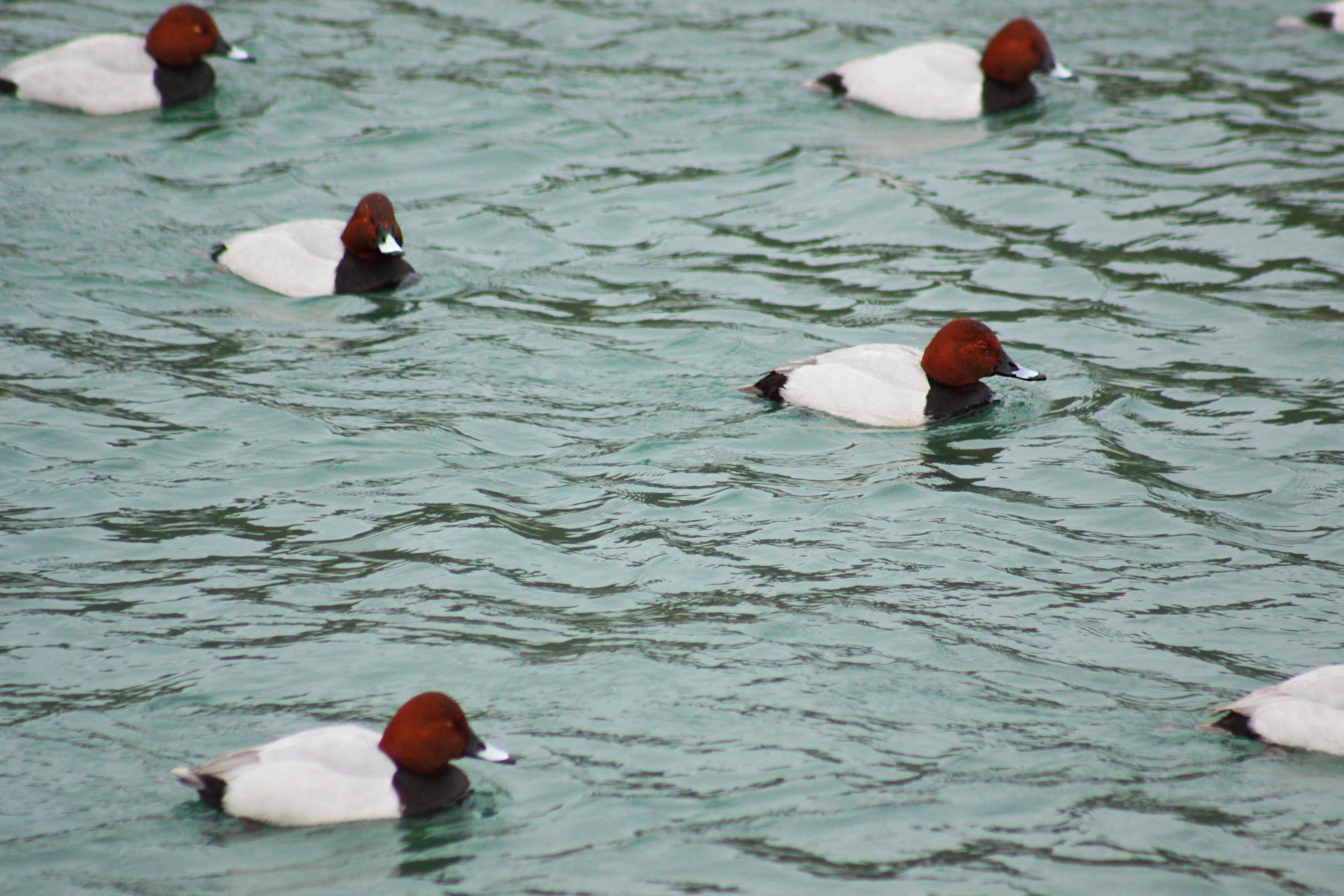 Za nami je Januarsko štetje vodnih ptic (IWC) 2015